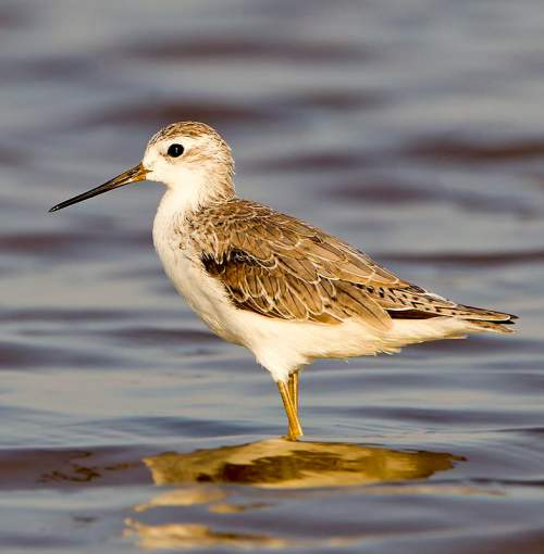 Indian birds - Picture of Marsh sandpiper - Tringa stagnatilis