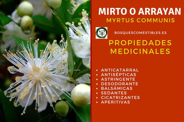 Mirto, Myrtus communis, tiene propiedades: antisépticas, astringentes o desodorantes entre otros beneficios.