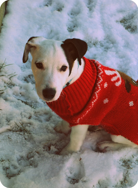 Jack russell terrier i my!
