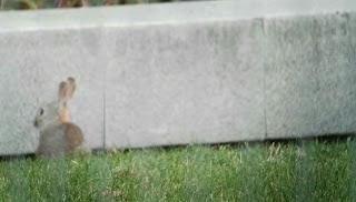 Conejo de Monte, Oryctolagus cuniculus, Parque de la Arganzuela, Madrid-Río.