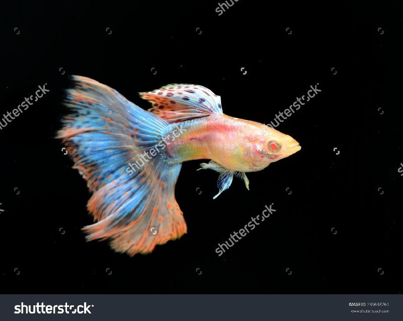 Gambar Jenis Ikan Guppy Import - Ikan Guppy Import Albino Red Grass / ARG