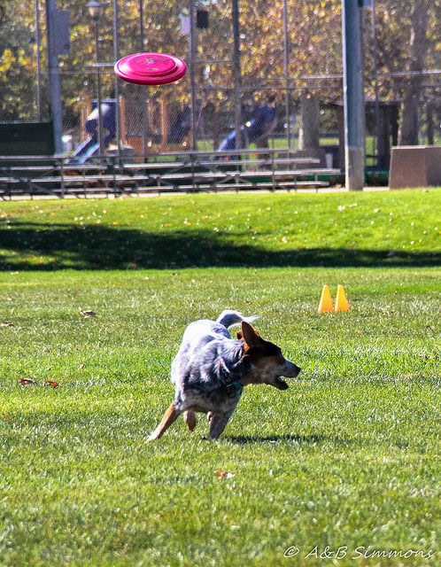 Toss and Fetch, disc dog event, Disc Dogs of the Golden Gate event