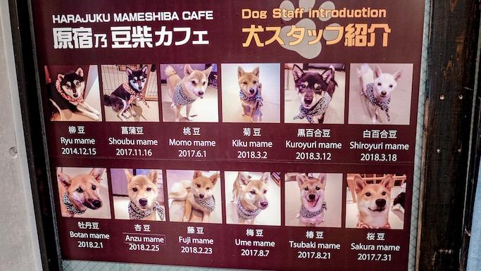 shiba dog cafe tokyo japan