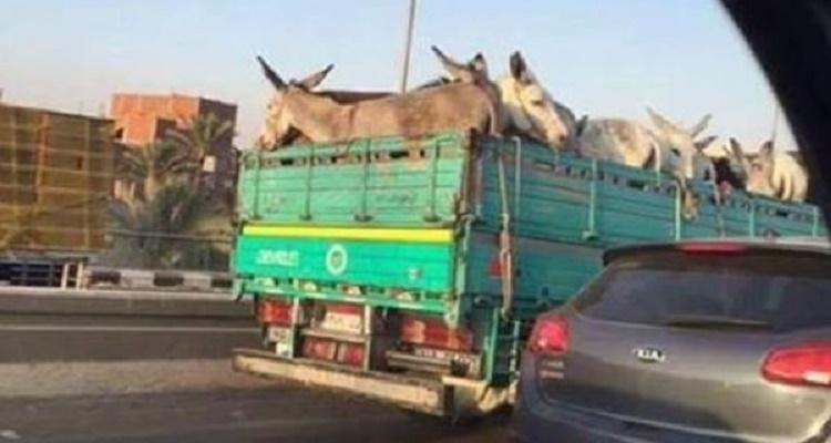 الصورة التي صدمت المصريين البارحة : لماذا ذهبت هذه الحمير إلى القاهرة