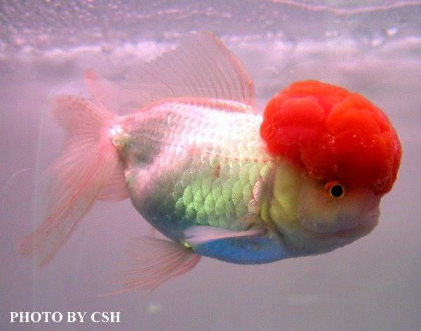 金魚快訊部落格Goldfish message blog: 金魚急救:金魚感染白點病(魚友提供)