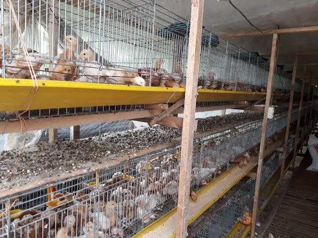 Cara Beternak Ayam Joper Untuk Pemula