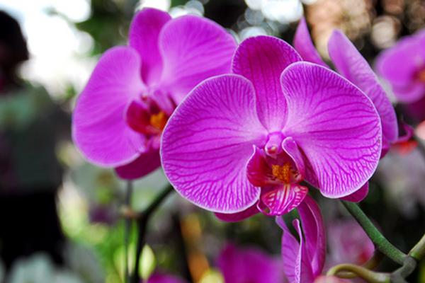 Ciri-ciri dan jenis bunga anggrek