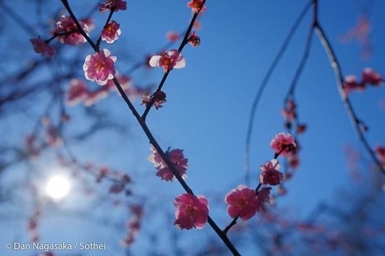 ピンクの梅花と太陽