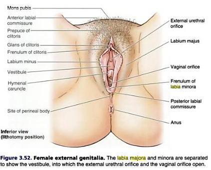 organa genitalia feminina eksterna medicalsham