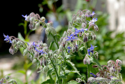 Bourrache, Borago Officinalis.
