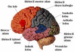 Ayna Nöronlar Nedir?