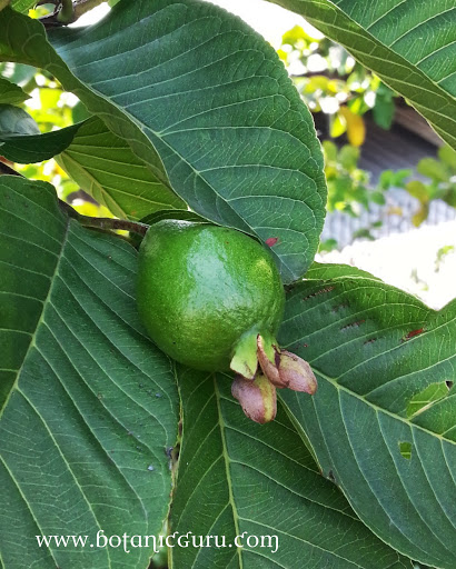 Psidium guajava, Guava
