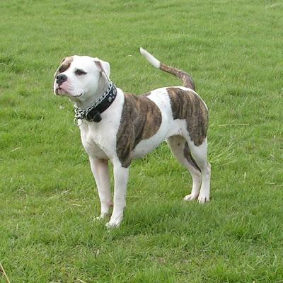 American Bulldog - Great Dog Reviews | Dog breeds and ...
