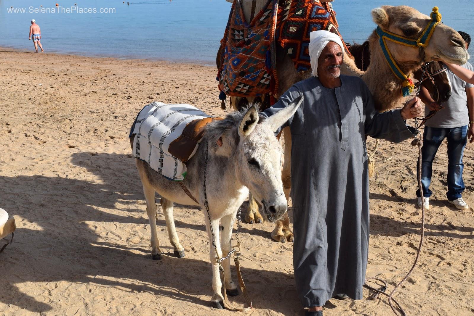 Casanova the Camel, Hurghada Egypt