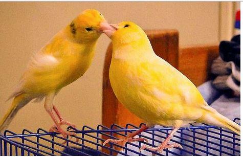 Mempercepat Proses Kawin pada Burung Kenari, Ini Tipsnya