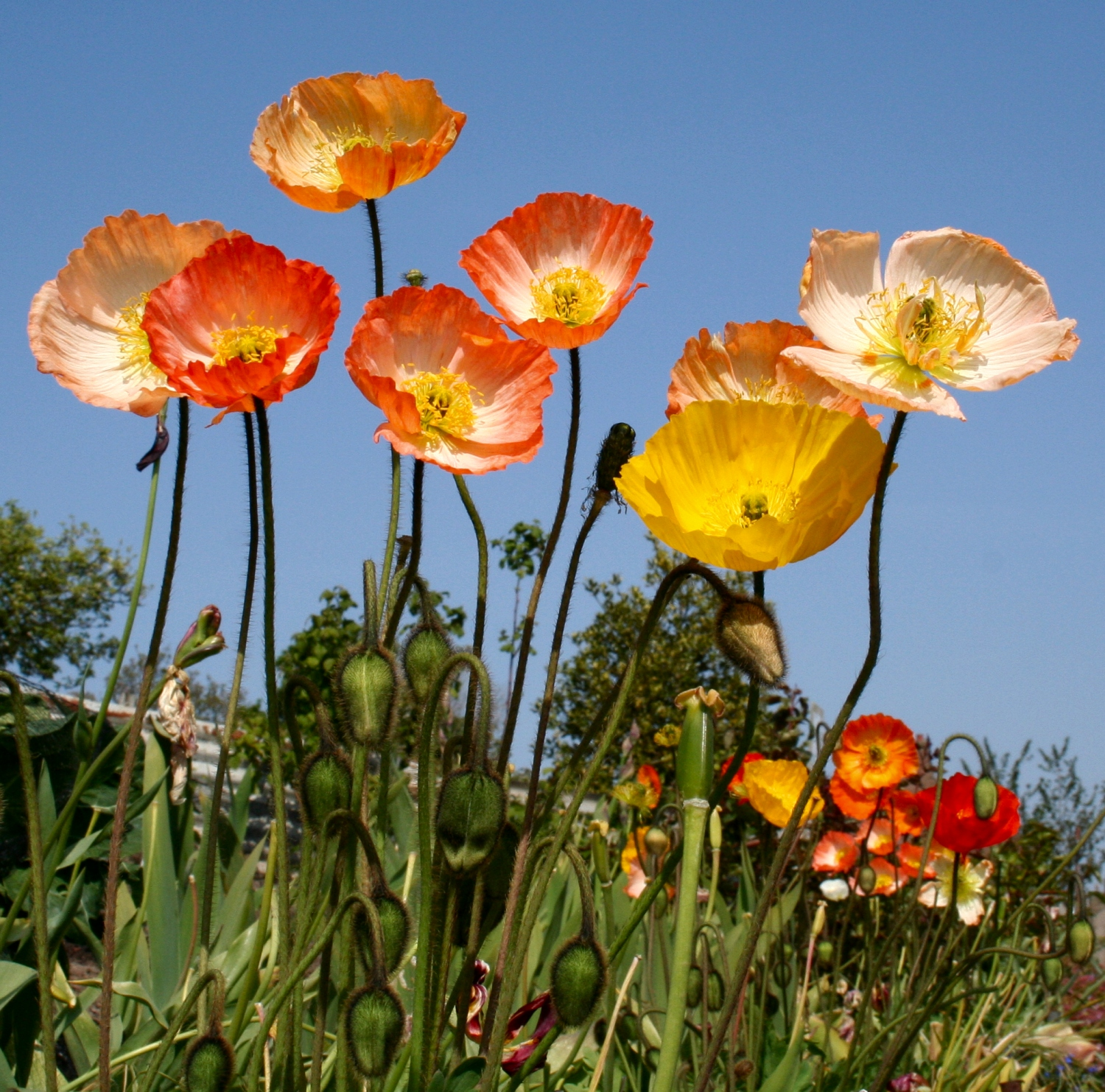 Scottish Artist and his Garden: PERFECT POPPIES
