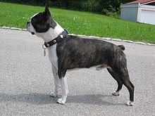 Boston Terrier dog on road