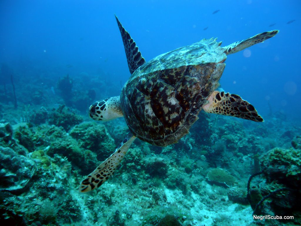 animals sea wild creatures jamaica underwater negril ocean water turtle barbados caribbean fishies animal turtles hawksbill fauna land