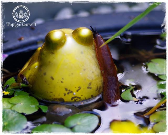 Gartenblog Topfgartenwelt Schädlinge rote Nacktschnecken: schwimmende Nacktschnecke