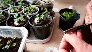 клематис семян +в домашних