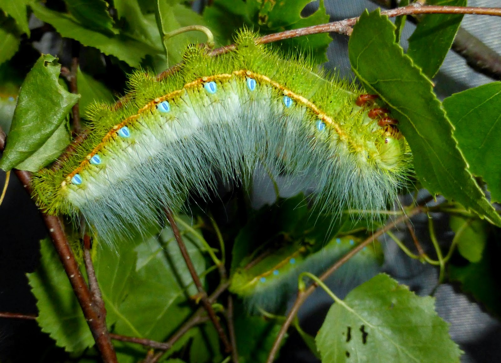 Caligula simla L5 caterpillar