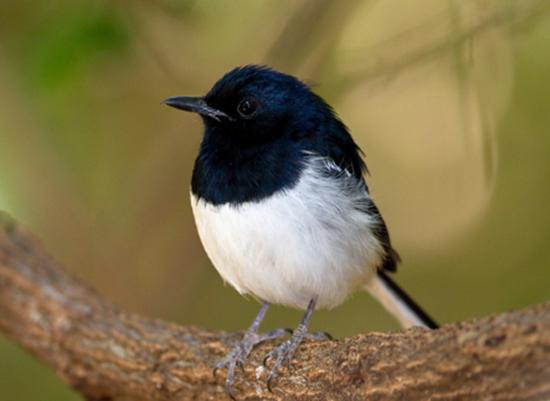 Mengatasi Kacer Yang Buka Ekor Sebentar Lalu Mbalon Atau Mbedes Ketika Lomba Hobi Burung