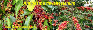 benefit Antidesma Thwaitesianum for Gonorrhea