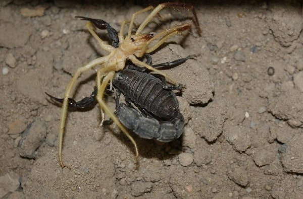 camel spider eaten by a large scorpion