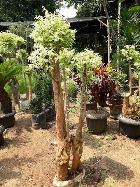 jual pohon bonsai di jagakarsa