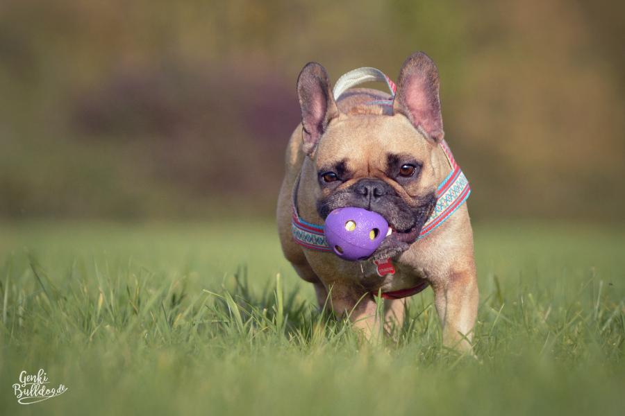Französische Bulldogge Fawn Genki Bulldog