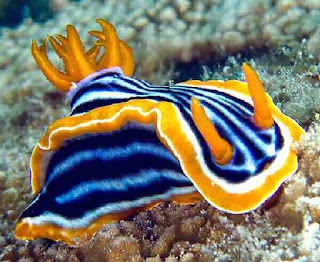 Sea slug brightly colored