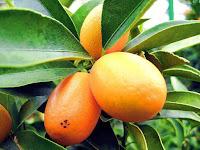 gambar buah kumquat, buah kumquat dalam bahasa arab