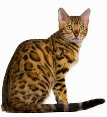 Kucing Bengal dan Karakteristiknya