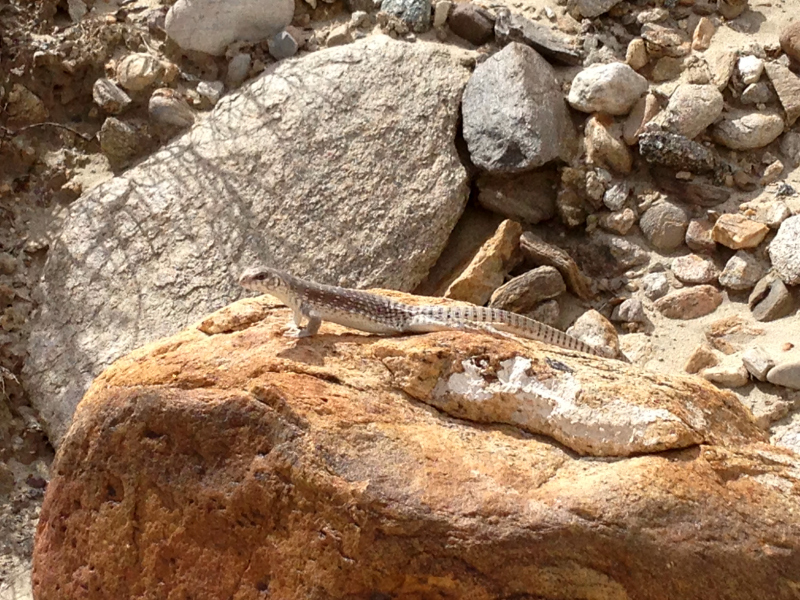 Desert Iguana at Moon Country Hike at Coachella Valley Preserve, Palm Springs California, Palm Desert California, Palm Desert Hikes