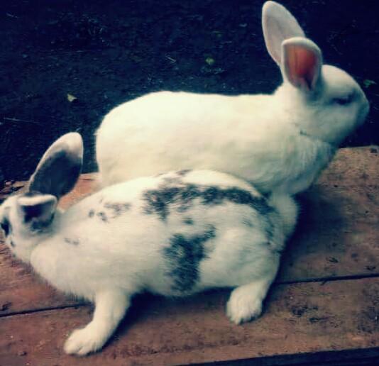 Usia Kelinci Siap Kawin Dan Tanda Kelinci Sedang Birahi Hobinatang - Perkawinan Kelinci, Kelinci Fuzzy Loop Kampung Kelinci