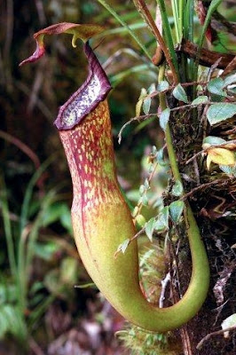 Nepenthes Appendiculata