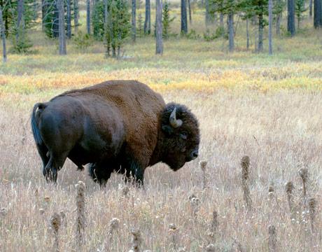Yellowstone National Park Animals Online World Celebrity
