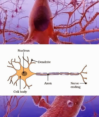 Structure of a neuron | CBSE Class 10th | Science