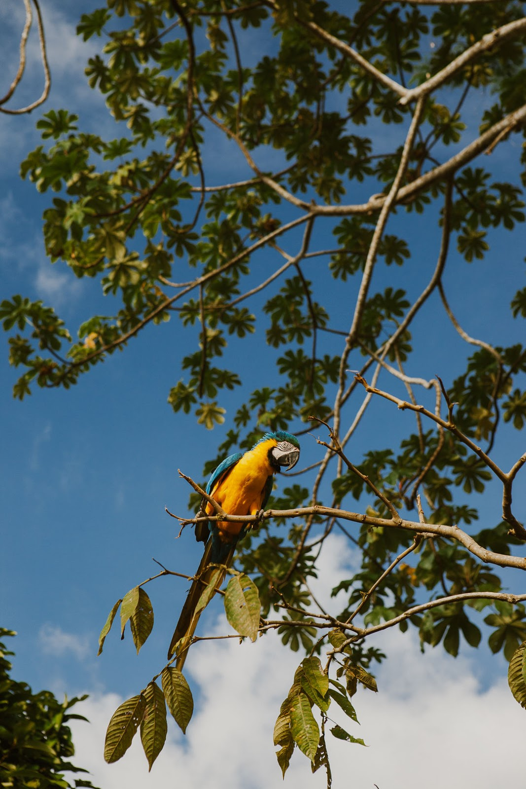 Blue and Yellow Macaw sits on a think branch on a tree in the Peruvian rainforest