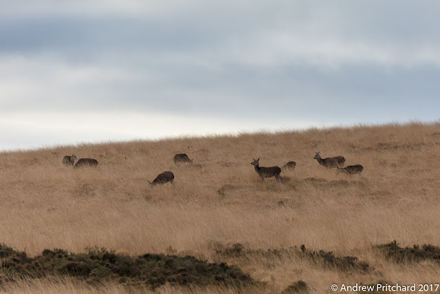 A group of deer are feeding on the long yellow grass on a moorland hillside.