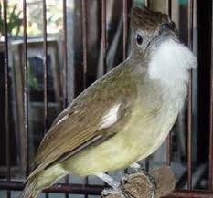 Burung Cucak Jenggot -  Tahap yang Manjur Membangkitkan Burung Cucak Jenggot yang Drop - Penangkaran Burung Cucak Jenggot
