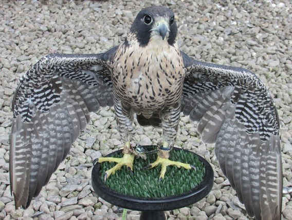 Peregrine falcon with wings spread