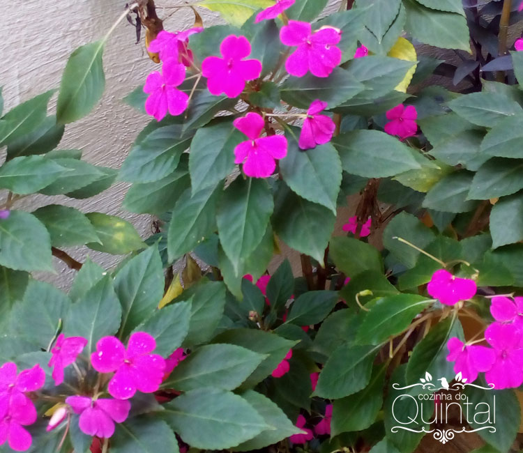 Beijo!! Cor linda para uma planta muito fácil de manter e que fica florida 100% do tempo.