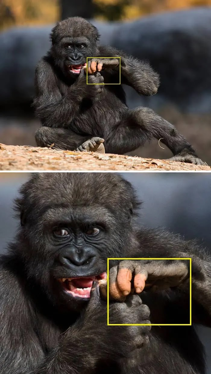 Picture Of Gorilla With Lack Of Pigmentation Proves How Strong Our Similarities Are