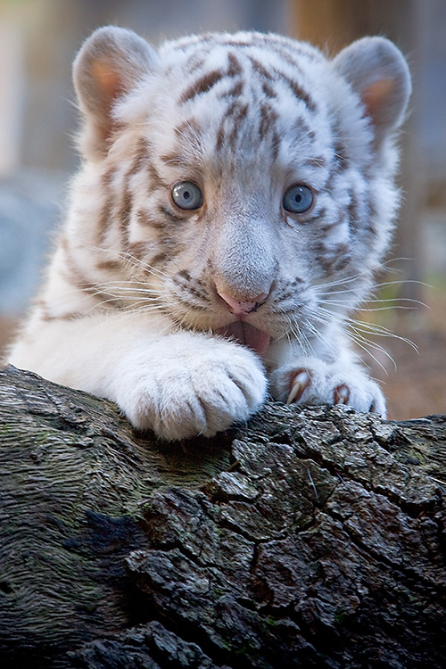 Beautiful White Tiger Cubs Wallpaper Global Wallpapers