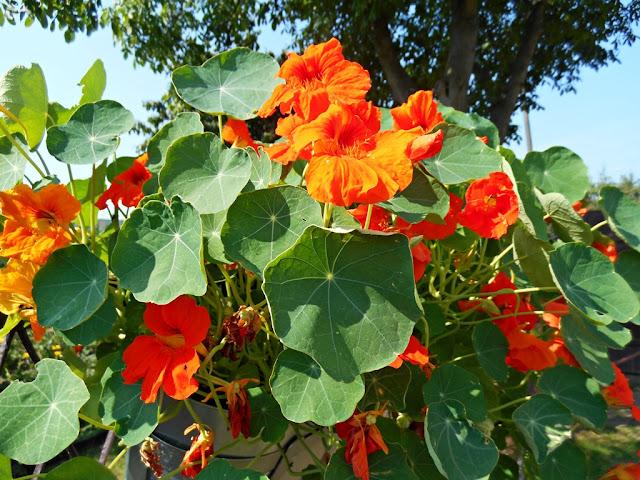 kwiaty, ogród, działka, Koło domu, nasturtium, Kapuzinerkresse, capuchina