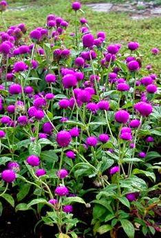 Jual Tanaman Bunga Kancing Ungu | Tanaman Hias Bunga | Pohon Bunga Kancing | Jasa Tukang Taman Dibogor