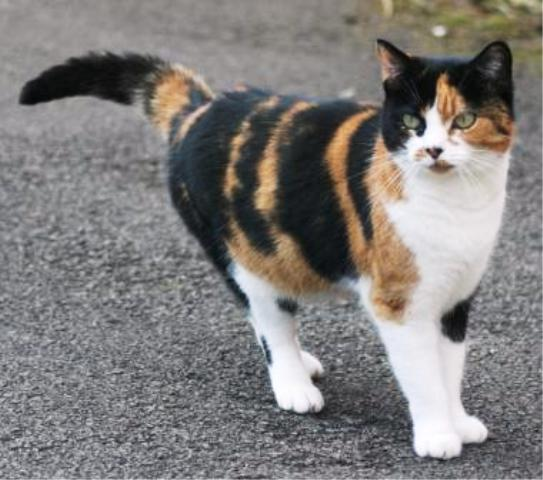 Pictures Of Calico Tabby Cats