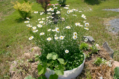 Planter of oxeyed daisies.