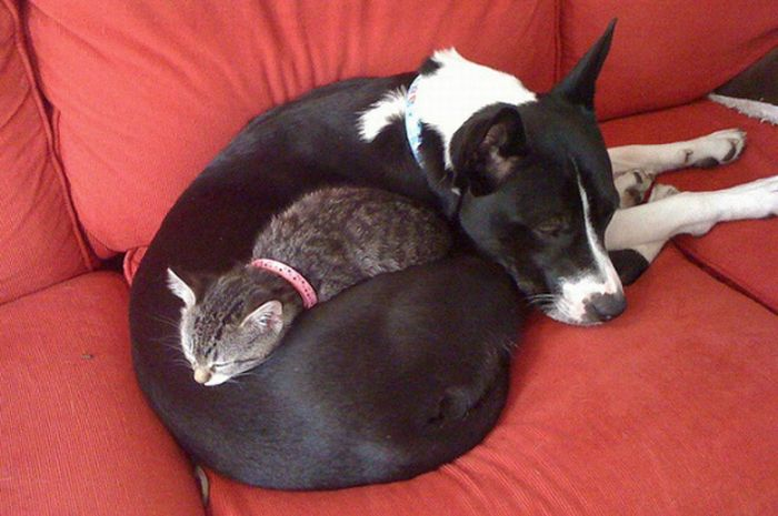 Cute dog and cat friends - photo#54